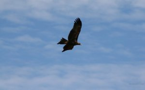 24_web20|watermark_530xheight_flying-wedge-tailed-eagle-1680x1050