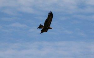 24_web20 watermark_530xheight_flying-wedge-tailed-eagle-1680x1050