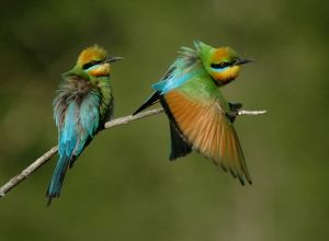 800px-Rainbow_Bee-eaters_Juffs