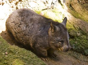 Southern_Hairy-nosed_Wombat