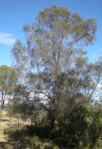 800px-Allocausarina_Ieuhmanii_tree