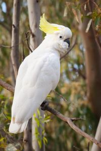 800px-Sulphur_Crested_Cockatoo_Nov10