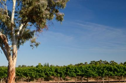 Vines at Renmark