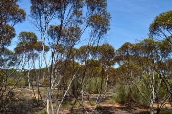 Typical mallee vegetation in the park