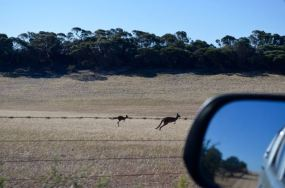 Kangaroos bounding alongside the 4WD