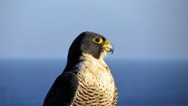 Peregrine_falcon_(Australia)