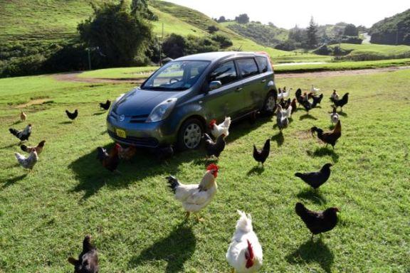 A chicken invasion!