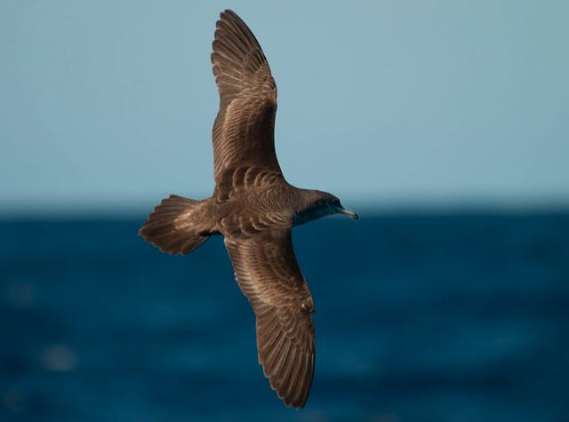 Wedge-tailed_Shearwater_20120411_pelagic_off_Cascade_Pier_Norfolk_I_01.jpg