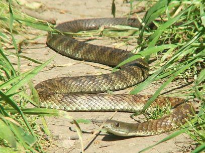 1280px-Eastern_Tiger_Snake