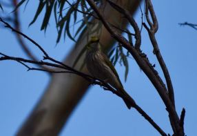 Yellow plumed honeyeater