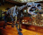 diprotodon_australis_skeleton_1