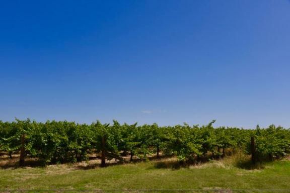 Vineyards at Langhorne Creek
