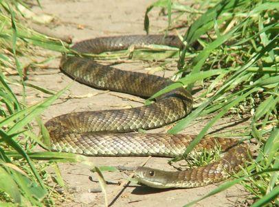 eastern_tiger_snake