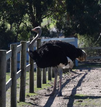 Ostrich at the adjacent Hahndorf Farm Barn