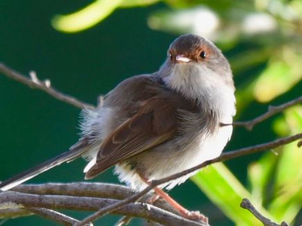 Female Superb Fairywren
