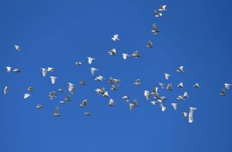 Flock of Corellas