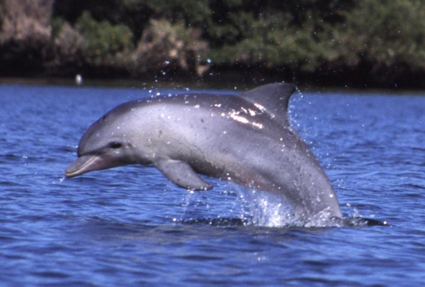 Tursiops_aduncus,_Port_River,_Adelaide,_Australia_-_2003.jpg