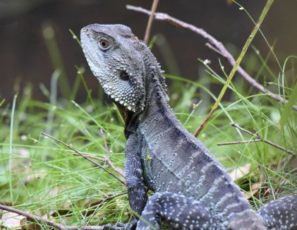 Gippsland Water Dragon