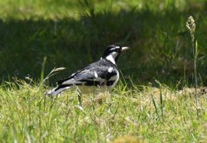 Murray Magpie or Mudlark
