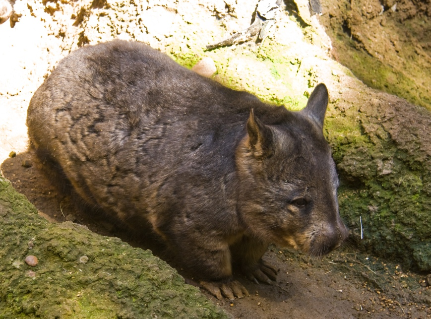 Southern_Hairy-nosed_Wombat.jpg