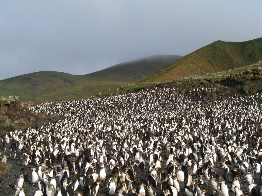 A royal penguin rookery on Macquarie Island.