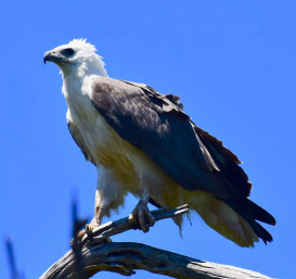 White bellied sea eagle in the Croajingolong National Park