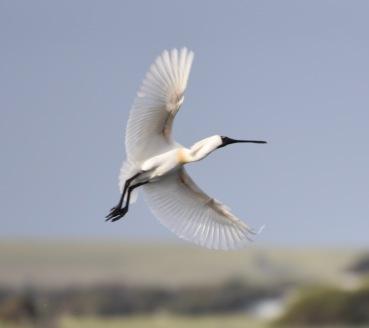 A Royal Spoonbill in flight