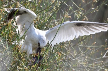 Black shouldered kite with a kill