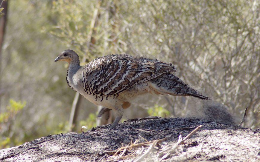 Leipoa_ocellata_-Ongerup,_Western_Australia,_Australia-8.jpg
