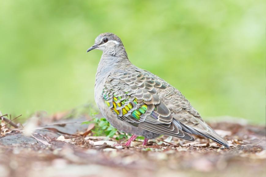 Phaps_chalcoptera_-_Australian_National_Botanic_Gardens.jpg