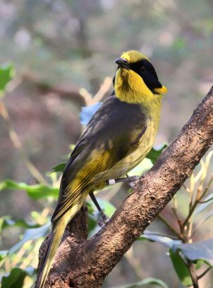 Captively_bred_Helmeted_Honeyeater_at_the_Healesville_Sanctuary_in_Healesville,_Victoria,_Australia