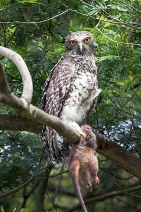 Powerful Owl (courtesy of Wikipedia)