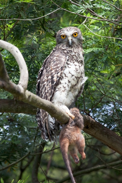 Powerful Owl (courtesy of Wikipedia)