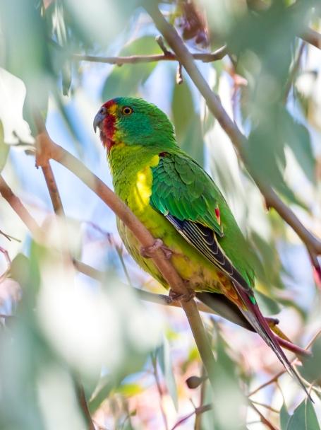 Swift Parrot (courtesy of Wikipedia)