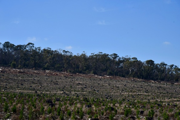 Cleared pine plantation near the south western part of the park.